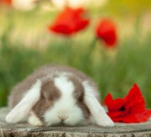 Карликовый вислоухий кролик - Грызуны в Севастополе