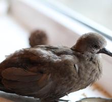 Отдам птенца горлицы в добрые руки - Птицы в Севастополе