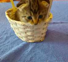 Котята вислоушки  в добрые руки - Кошки в Севастополе