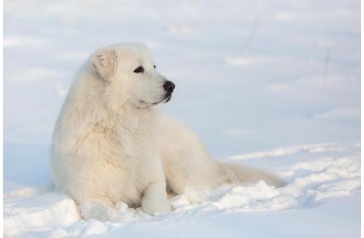 Маремма абруцкая овчарка щенки щенки - Собаки в Севастополе