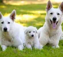 Щенки белой швейцарской овчарки - Собаки в Симферополе