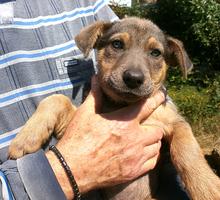 В добрые руки счастье! - Собаки в Севастополе