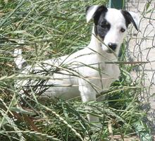 Собачка из маски джек-рассел терьер щенки - Собаки в Симферополе