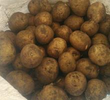 Продам семенной картофель - Эко-продукты, фрукты, овощи в Крыму