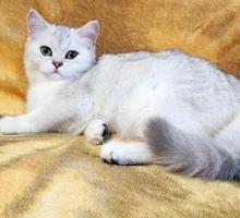 Продаётся шотландская кошечка - Кошки в Симферополе