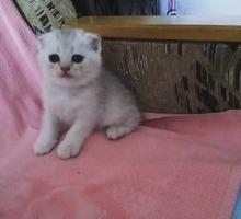 Продаются шотландские котята - Кошки в Феодосии