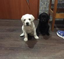 Продам щенков лабрадора в Крыму - Собаки в Крыму