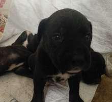 Щенки кане корсо метисы - Собаки в Севастополе