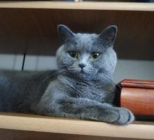 Отдам в добрые руки кошку, шотландская скоттиш-страйт - Кошки в Крыму