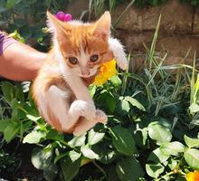 Котята в добрые руки бесплатно - Кошки в Крыму