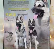 Щенки Восточноевропейской овчарки от племенных производителей - Собаки в Севастополе