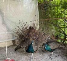 продам Павлина - Птицы в Севастополе