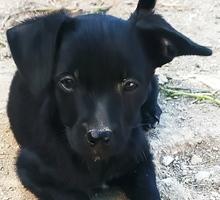 Отдам щенков той- терьера - Собаки в Симферополе