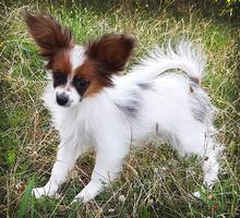 Продаётся щенок папийона - Собаки в Ялте