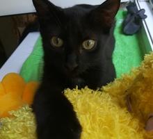 Чёрный Котёнок - Кошки в Севастополе