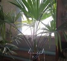 Продам веерную пальму - Ландшафтный дизайн в Крыму