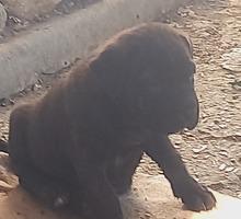 Продам щенков Кане корсо - Собаки в Симферополе