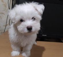 Белоснежный щенок болонки мини - Собаки в Симферополе