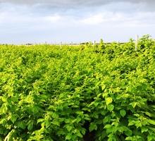 Продаются саженцы малины - Саженцы, растения в Красноперекопске