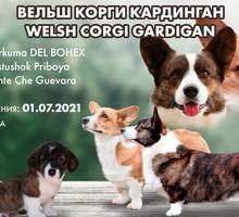 Продаются щенки корги кардиган - Собаки в Ялте