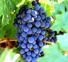 Куплю черные сорта винограда - Эко-продукты, фрукты, овощи в Крыму