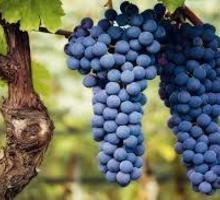 Виноград на вино. - Эко-продукты, фрукты, овощи в Севастополе