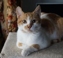 Мальчик в добрые руки, 4-5 месяцев, к лотку приучен - Кошки в Крыму