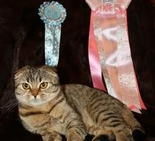 Шотландская вислоухая кошечка чемпион породы - Кошки в Симферополе
