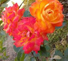 Продам многолетние цветы недорого со своего участка : - РОЗЫ, ИРИСЫ - Саженцы, растения в Севастополе