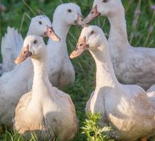 Продам уток 4,5 мес - Сельхоз животные в Керчи