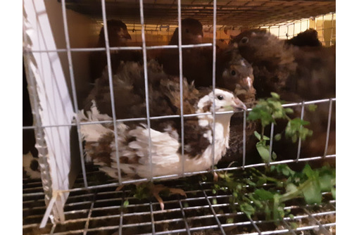 Перепёлочки - Птицы в Севастополе