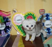Серебряшые  шотландские котята - Кошки в Симферополе