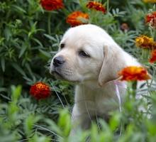 Палевые щенки лабадора, питомник, родословная - Собаки в Керчи