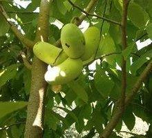 Продаю саженцы Азимины (Мексиканский банан) - Саженцы, растения в Керчи