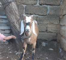 Продаётся англо-нубийский козлик - Сельхоз животные в Старом Крыму