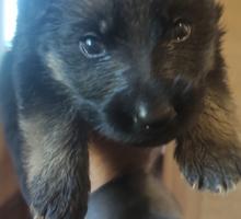 Щенки немецкой овчарки - Собаки в Севастополе