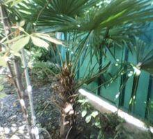 Продаю молодую крымскую веерную пальму - Саженцы, растения в Гурзуфе