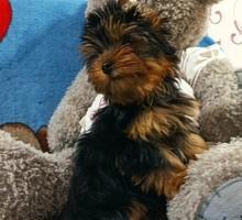 Красивейшие щенки йоркширского терьера - Собаки в Симферополе