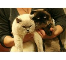 Предлагаются коты для вязки - Вязка в Севастополе