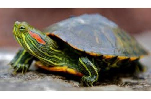 Продам красноухих черепах оптом, фото — «Реклама Севастополя»