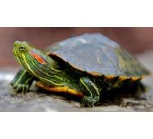 Продам красноухих черепах оптом - Рептилии в Севастополе