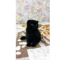 ПРОДАМ ПЛЮШЕВЫХ КОТЯТ С ПРЕКРАСНОЙ РОДОСЛОВНОЙ - Кошки в Севастополе
