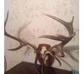 Продам большие  рога оленя . - Предметы интерьера в Краснодаре