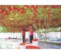 Работник теплицы с помидорами - Сельское хозяйство, агробизнес в Краснодаре