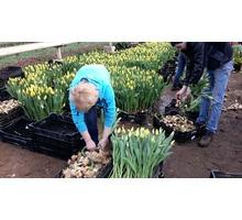 Сборщики тюльпанов - ВАХТА - Сельское хозяйство, агробизнес в Краснодарском Крае