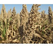 Семена сорго - Саженцы, растения в Краснодаре
