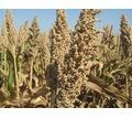 Семена сорго сахарного, зернового, суданкового - Саженцы, растения в Краснодаре