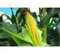 Семена кукурузы Краснодарский 194, Краснодарский 291 и др. - Саженцы, растения в Краснодаре