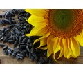 Семена подсолнечника (сорта и гибриды) - Саженцы, растения в Краснодаре
