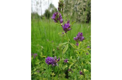 Семена люцерны  Багира, Манычская - Саженцы, растения в Краснодаре